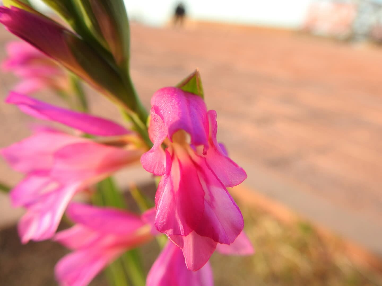 Gladiolus italicus - Iridaceae