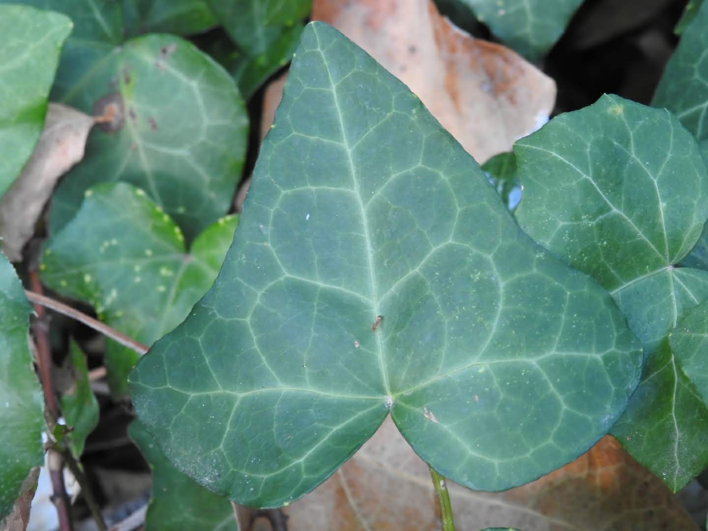 Hedera helix - Araliaceae