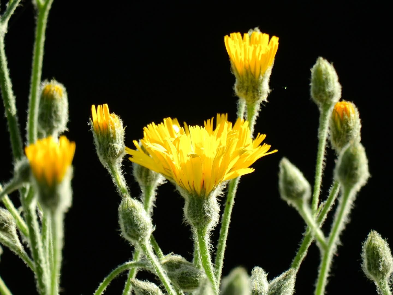 Hieracium tomentosum