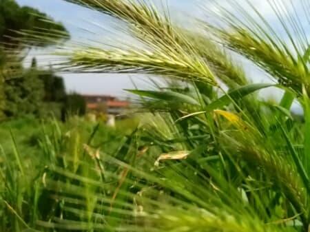 Hordeum murinum - Poaceae
