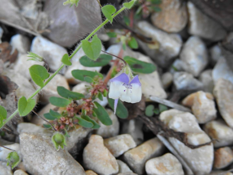 Kickxia commutata - Plantaginaceae