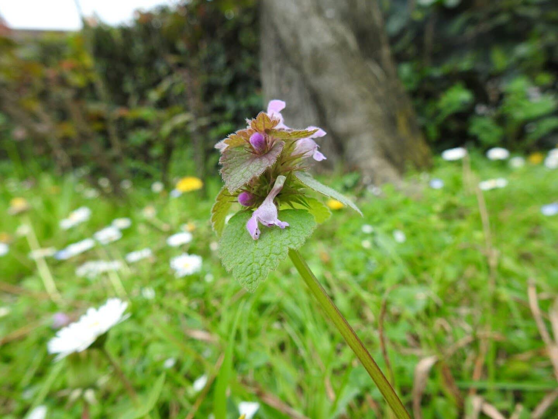 Lamium purpureum - Lamiaceae