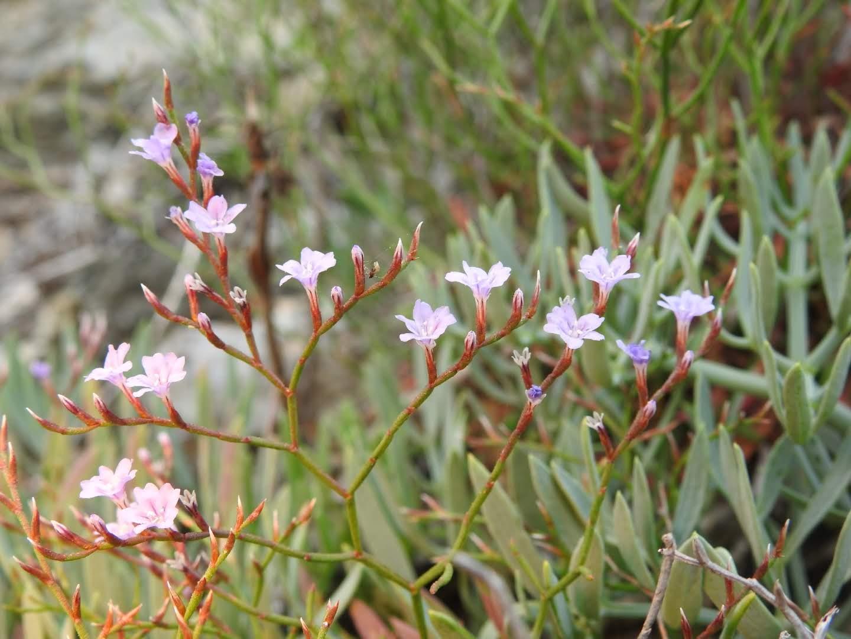 Limonium ilvae - Plumbaginaceae