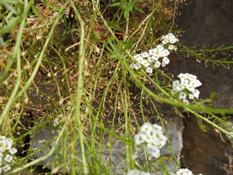 Lobularia maritima - Brassicaceae