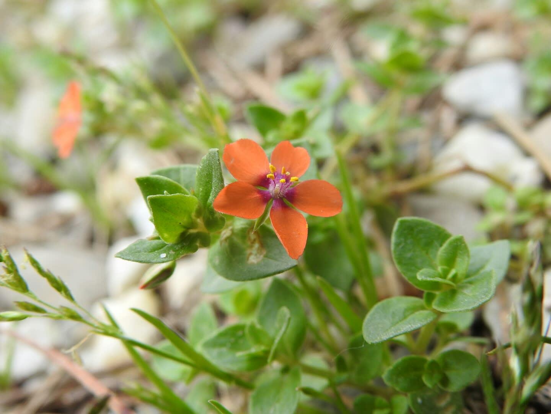 Lysimachia arvensis - Primulaceae