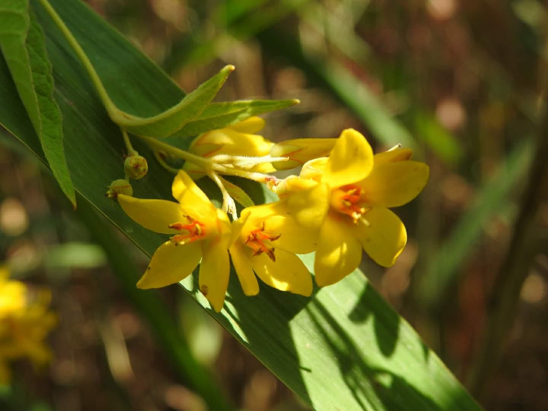 Lysimachia vulgaris - Primulaceae