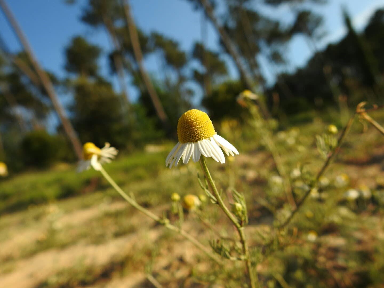 Matricaria chamomilla