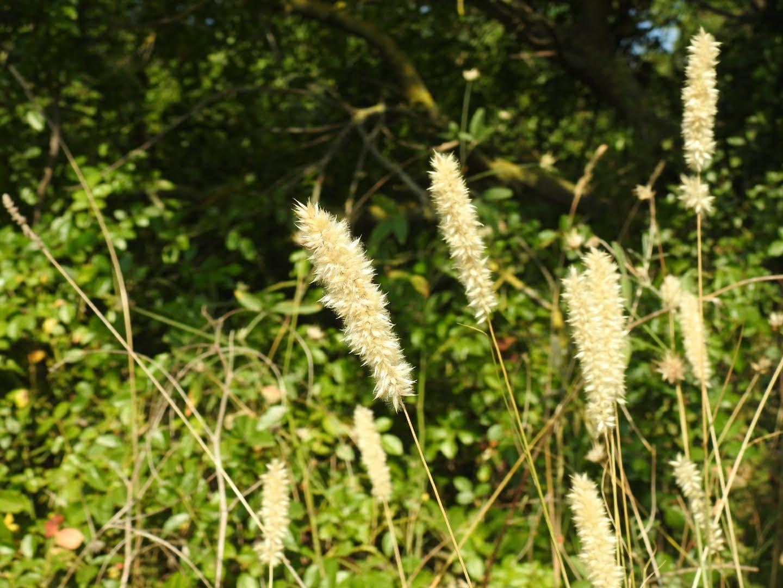 Melica ciliata - Poaceae