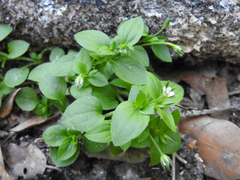Moehringia trinervia - Caryophyllaceae