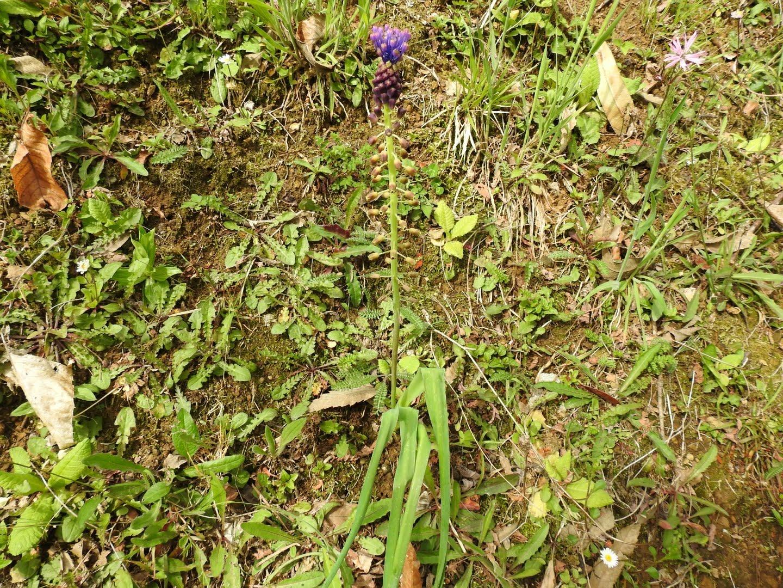 Muscari comosum - Asparagaceae