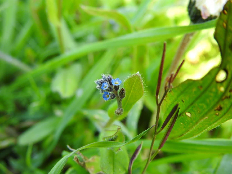 Myosotis stricta - Boraginaceae