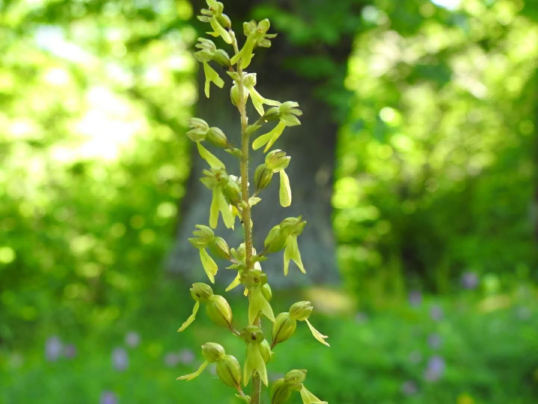 Neottia ovata - Orchidaceae