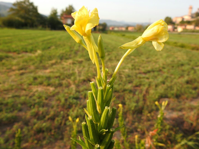 Oenothera biennis - Onagraceae