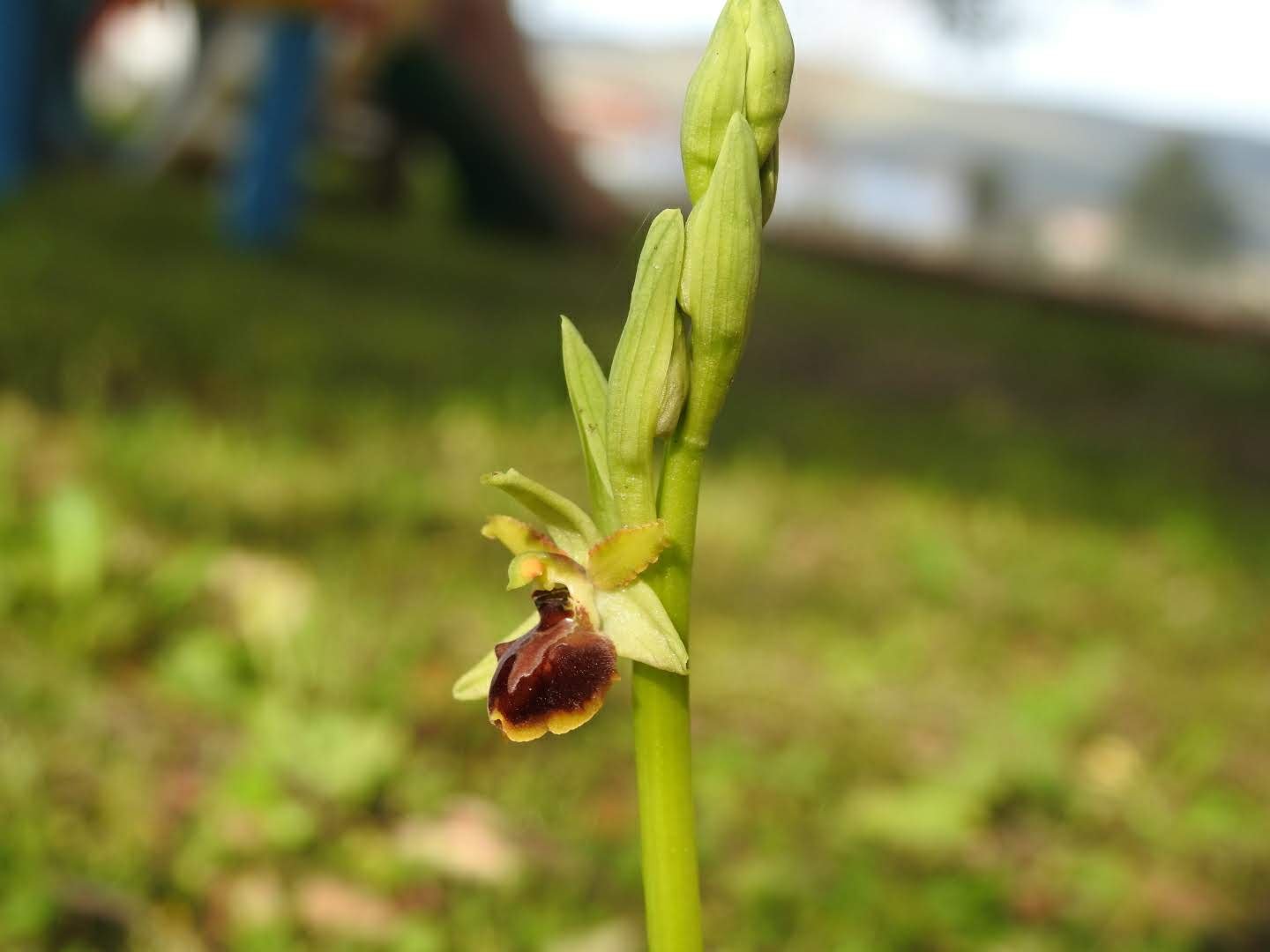 Ophrys classica - Orchidaceae