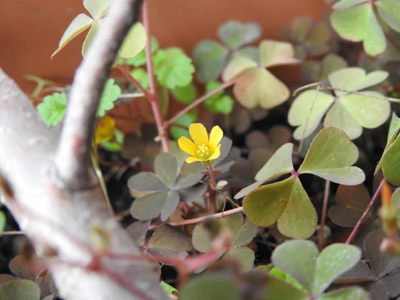 Oxalis corniculata - Oxalidaceae