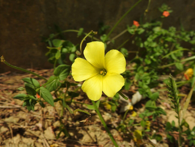 Fiore Giallo 6 Petali.Piante A Fiori Gialli