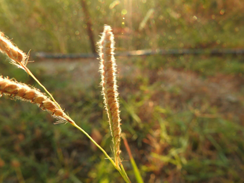 Paspalum dilatatum - Poaceae
