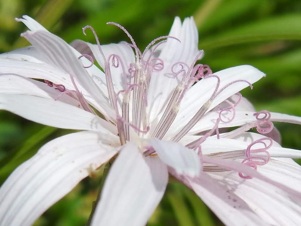 Podospermum roseum