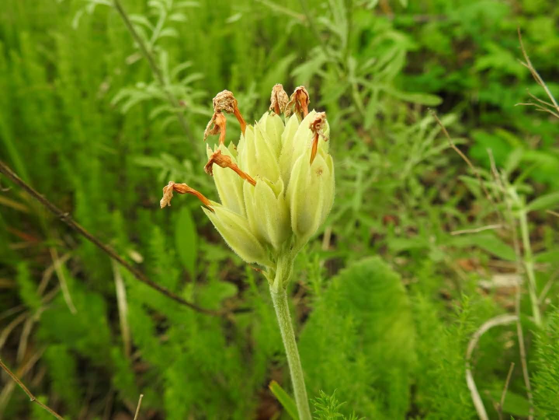 Primula veris - Primulaceae