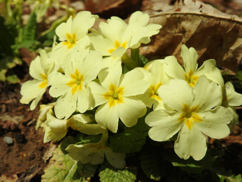 Primula vulgaris - Primulaceae