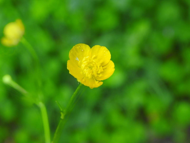 Ranunculus repens - Ranunculaceae