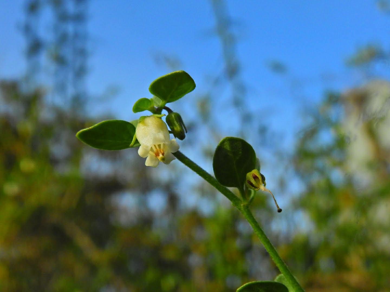 Salpichroa origanifolia - Solanaceae