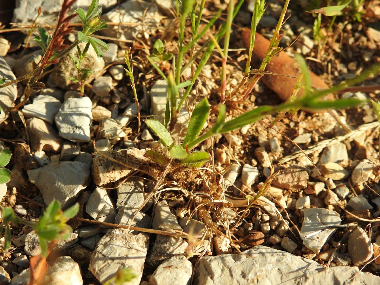 Silene gallica