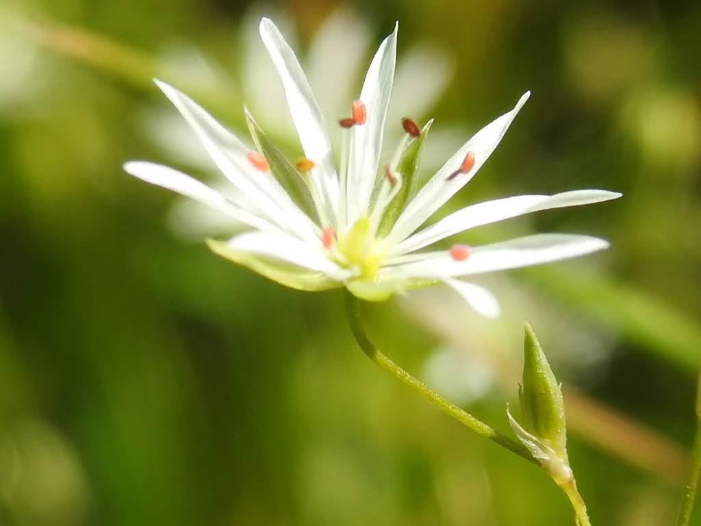 Stellaria graminea