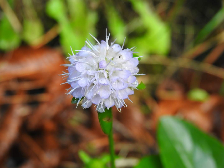 Succisa pratensis - Dipsacaceae