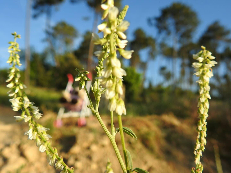 Trigonella alba - Fabaceae