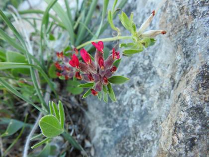 Anthyllis vulneraria - Fabaceae