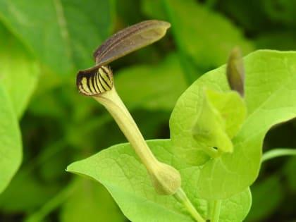 Aristolochia clematitis - Aristolochiaceae