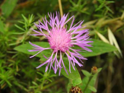 Centaurea jacea - Asteraceae