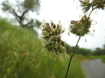 Dactylis glomerata - Poaceae