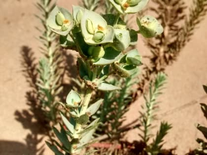 Euphorbia paralias - Euphorbiaceae