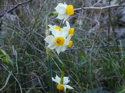 Narcissus tazetta - Amaryllidaceae