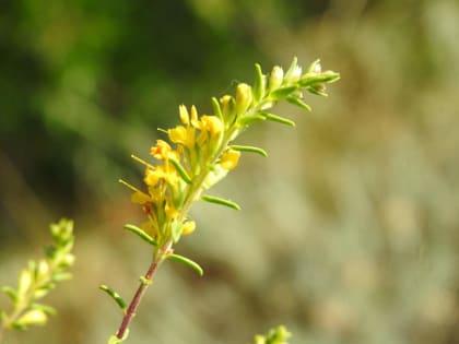 Odontites luteus - Orobanchaceae
