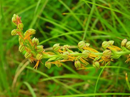 Orchis anthropophora - Orchidaceae