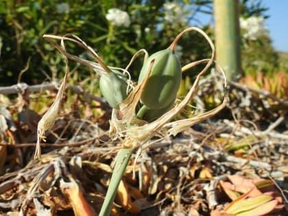 Pancratium maritimum - Amaryllidaceae