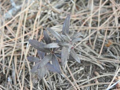 Rubia peregrina - Rubiaceae