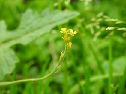 Sisymbrium officinale - Brassicaceae