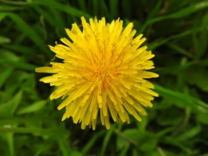 Taraxacum officinale - Asteraceae