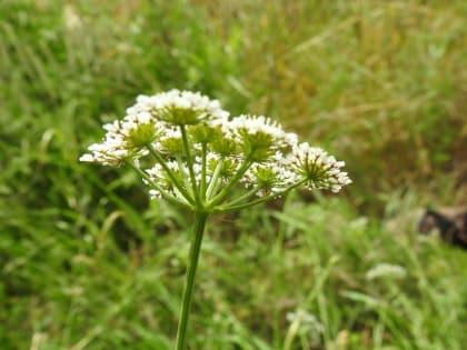 Torilis arvensis - Apiaceae
