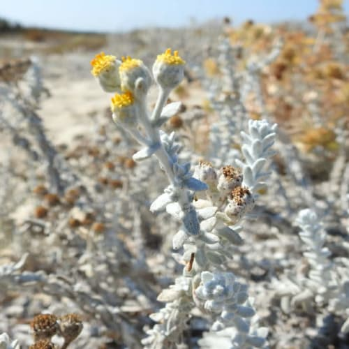 Achillea maritima - Asteraceae