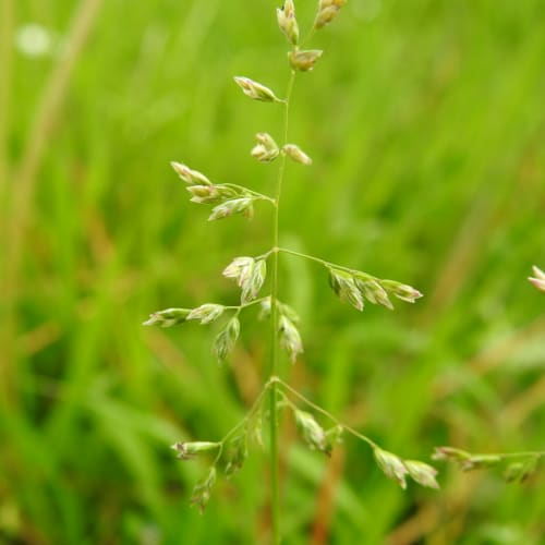 Agrostis stolonifera - Poaceae