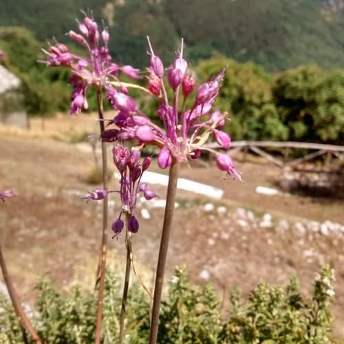 Allium carinatum - Amaryllidaceae