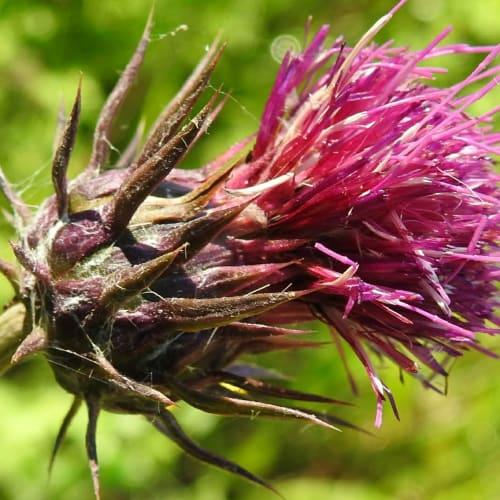 Carduus nutans - Asteraceae