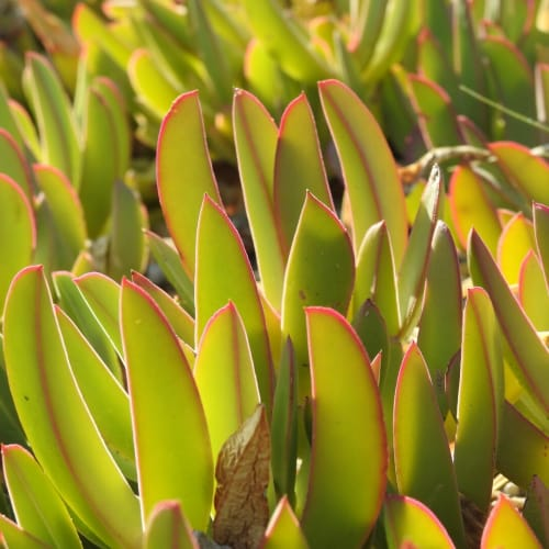 Carpobrotus edulis - Aizoaceae