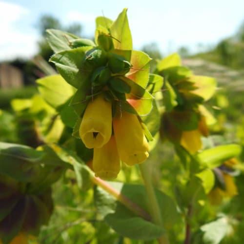 Cerinthe major - Boraginaceae