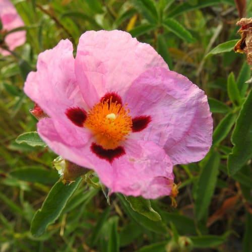 Cistus x purpureus - Cistaceae